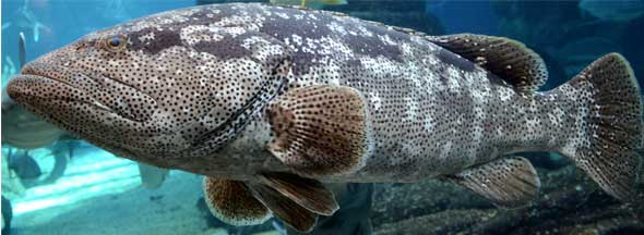 Goliath-Grouper