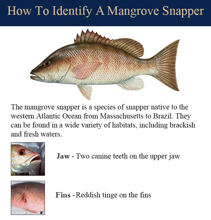 mangrove-snapper
