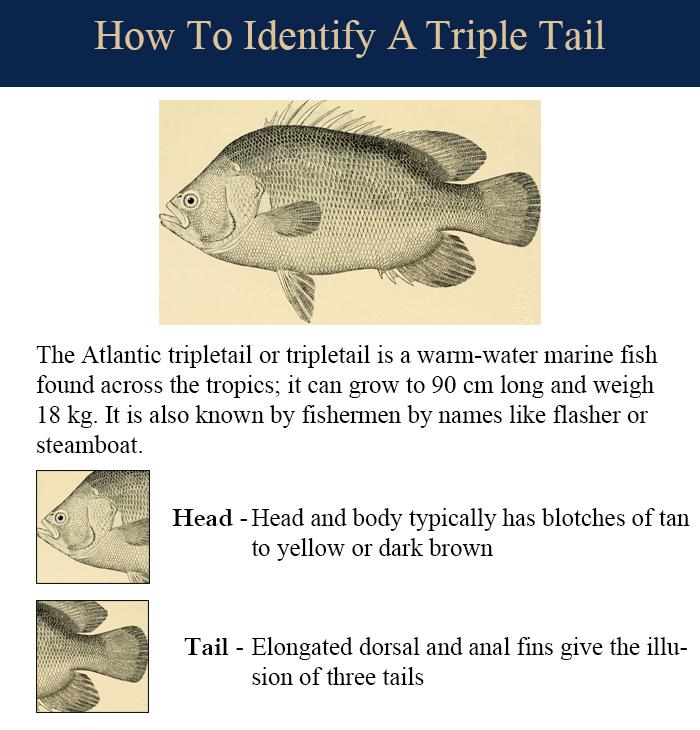 triple-tail