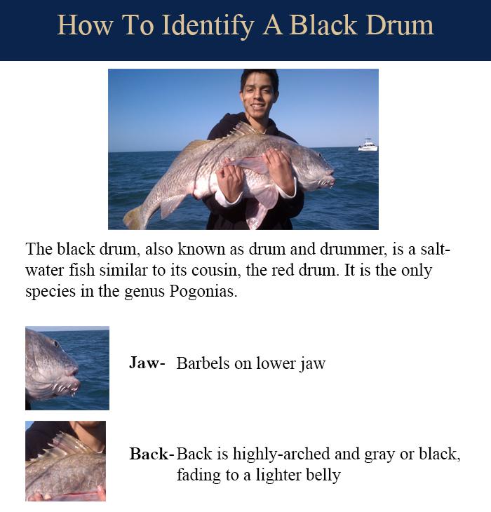 black-drum